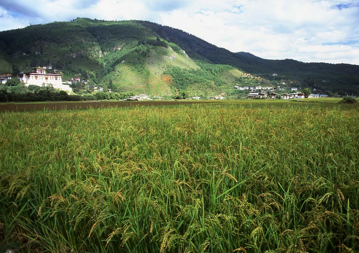 uma-paddy-field